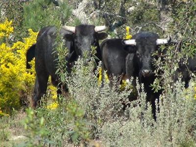 touros no seu habitat