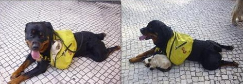 rotweiller e gato as costas