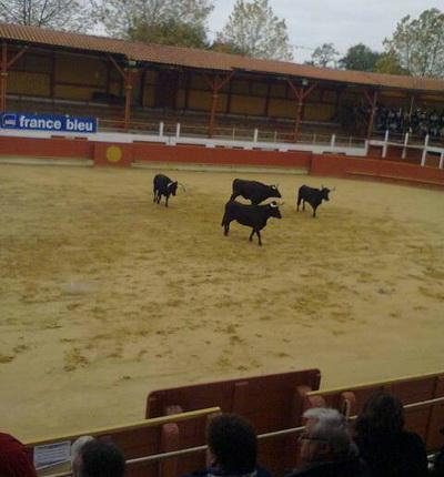 Vacas praca de touros Rion des Landes