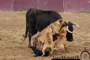 bull -baiting joao moura junior2