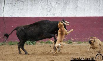 bull baiting joao moura junior3