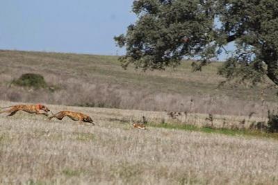 caca de lebres com galgos