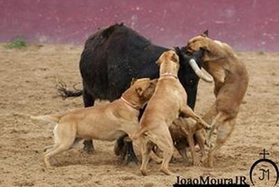 bull -baiting joao moura junior1