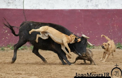 bull- baiting joao moura junior